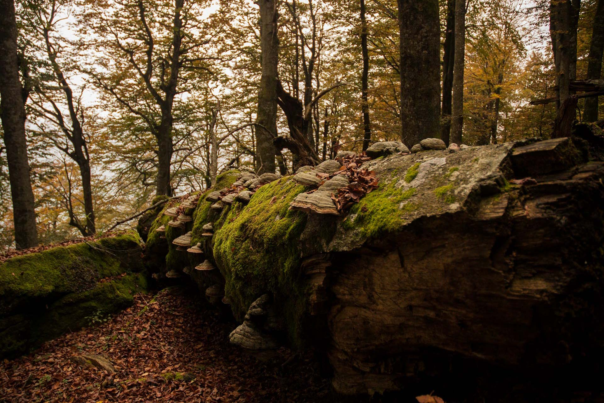 """On the """"skin"""" of beech trees"""
