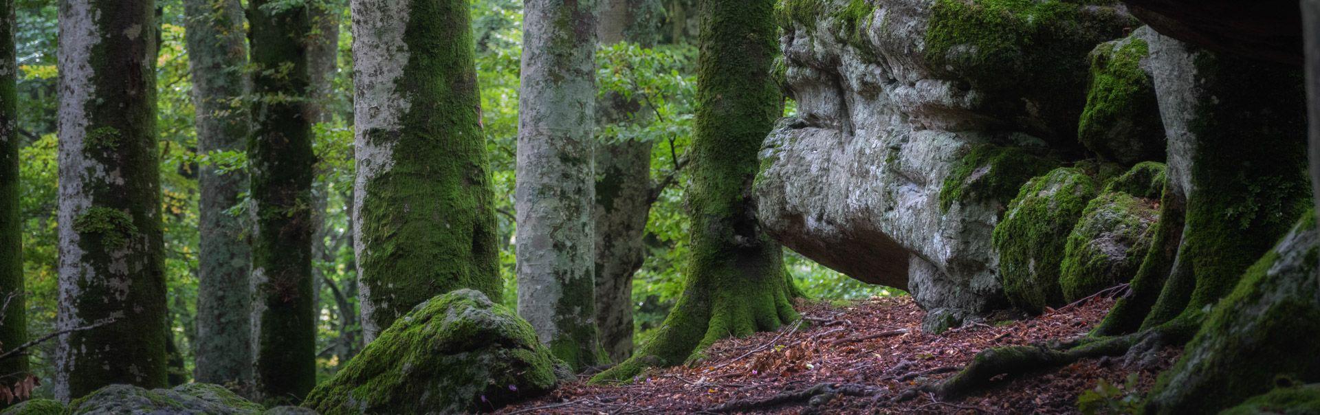 Monte Cimino beech forest