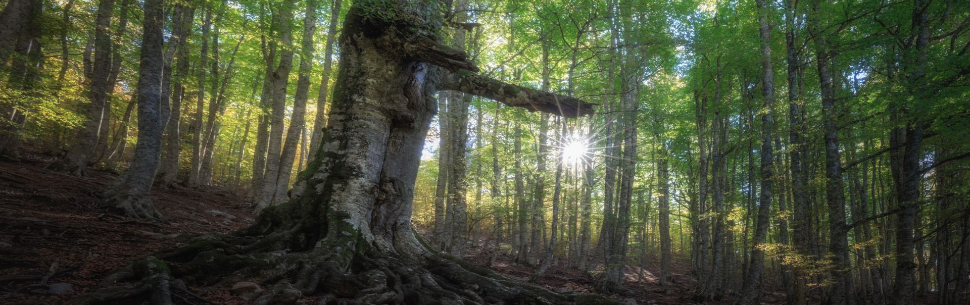 Cozzo Ferriero beech forest